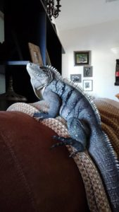 Boo Boo, one of the hybrid Cyclura Lewisi.