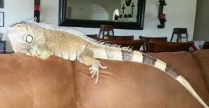 Igglaruu, one of the Green Iguana rescues.